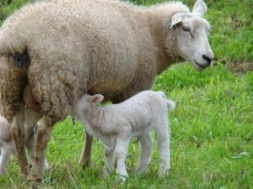 Produção de Leite de Ovelhas