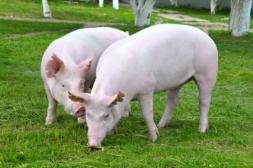 Carne suína, segura e saudável!